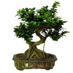 Saksı Bonsai